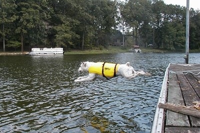 Cracker the American Bulldog is wearing a yellow life vest and in the midst of jumping off of a dock into a body of water