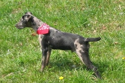 The left side of a black merle Atlas Terrier that is wearing a red bandana and it is standing across grass and it is looking to the left.