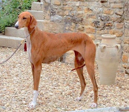 The left side of a red with white Azawakh Hound that is standing across gravel, in front of a staircase.