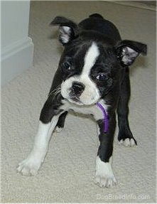 PJ the Boston Terrier standing on tan carpet looking down the hallway