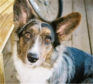 Glamour Shot - Jacob the Cardigan Welsh Corgi Puppy sitting on a wooden porch next to a wooden bench and a bike in the background.