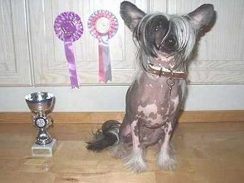 Bella the Chinese Crested hairless is sitting in front of a wooden cabinet next to a trophy and two hanging ribbons.