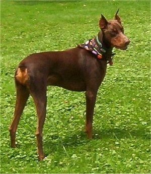 Boomer the red adn tan Doberman Pinscher is wearing a black bandana with polka dots all over it looking off to the side.