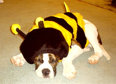 Hashko the white with brown brindle American Bulldog is laying on a floor wearing a yellow and black bee costume