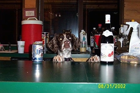 Remington Steel the English Springer Spaniel is standing up against a bar. There is a myriad of beers and snacks in front of and behind him.