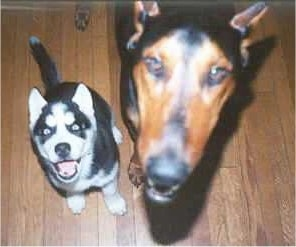 A Siberian Husky puppy and a large tan and black dog are sitting on a hardwood floor looking up.