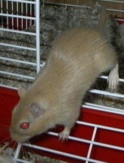 An Argente Golden Gerbil is running out of a cage and it is looking to the left.