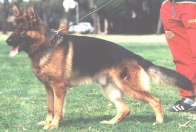 A black and tan German Shepherd is standing in a field. Its mouth is open and its tongue is out. There is a person in red pants behind it.