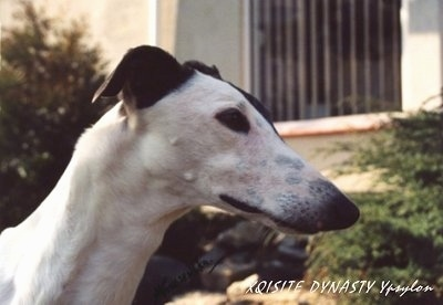 The face of a white with black Greyhound with a house behind it. The words - XQISITE DYNAST Ypsylon - overlayed