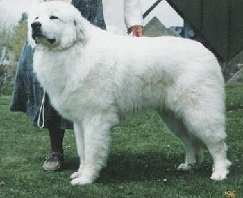 A lady in a dress is standing behind a large white dog in a show pose.