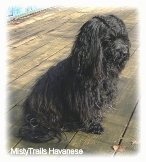 Side view - A black long haired dog is sitting on a hardwood porch and it is looking to the right.