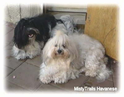 Two long haired dogs - A tan and white Havanese is laying on a brick porch and behind it is a black and white Havanese. They both are looking up.