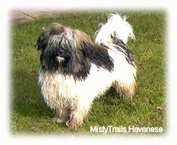 Front side view - A dirty wet black and white long haired dog is standing in grass, it is looking to the left and its head is slightly tilted to the right.