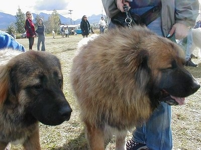 Two Caucasian Ovtcharkas are standing next to each other. There is a man behind one of them. In the background there are scattered groups of people