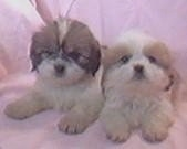 A white with brown Lhasa Apso puppy and a tan with white Lhasa Apso puppy are laying next to each other on a pink backdrop.