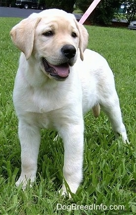 A cute, happy-looking yellow Labrador Retriever puppy is standing in grass looking to the right. Its mouth is open and its tongue is out.