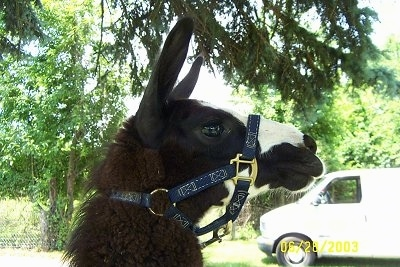 Close up Right Profile - A black with white Llamas face. It is looking to the right. There is a white van in the background.
