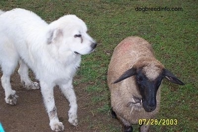 Close up - A Lamb is standing on grass and it is looking forward. To the left of the Lamb is a Great Pyrenees dog that is looking to the right.