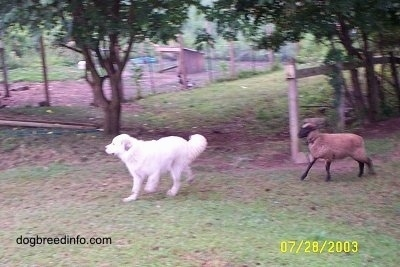 A Great Pyrenees dog is running across a field and chasing behind it is a Lamb.