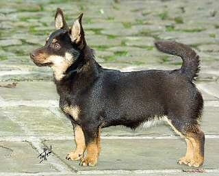 Left Profile - A short-legged, black with tan Lancashire Heeler is standing on a flagstone patio.