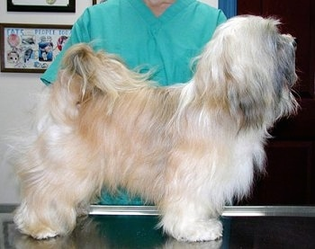 Right profile - A small, longhaired, white and tan with black dog is standing across a metal table. It is looking up and to the right. There is a person behind it.