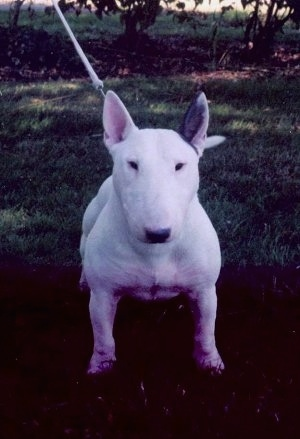A white Bull Terrier looking straight on at the camera holder