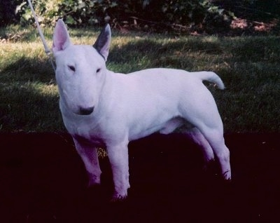 A white Bull Terrier standing sideways outside under a tree and looking to the left of its body
