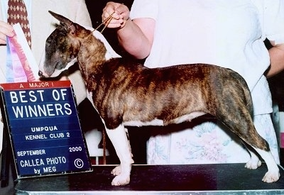 Bull Terrierposing on table with two people standing behind it. One Person is holding a series of ribbons with a sign that says 'Best of Winners Umpqua Kennel Club 2'