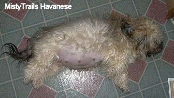 The right side of a pregnant dog that is laying across a tiled floor.