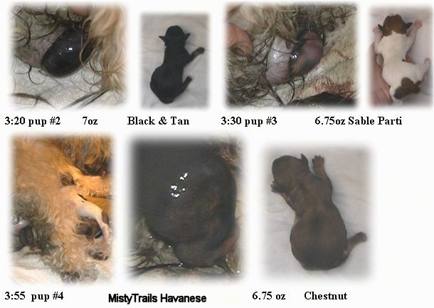 A combination of images that show the birth of three newborn puppies
