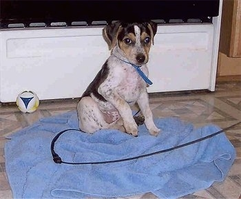 A white with black and tan Mountain Feist puppy is sitting on a blue towel. There is a TV and a toy ball behind it.