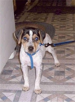View from the front - A white with black and tan Mountain Feist puppy is standing on a tiled floor next to a white appliance.