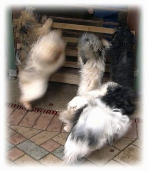 Action shot - Five dogs are jumping up against a small wooden wall. On the other side of the wall is a person.