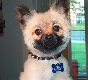 Close up - A shorthaired tan with white and black Pomeranian is looking forward and its head is tilted slightly to the left.