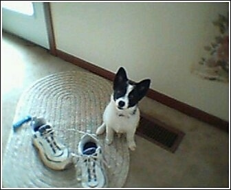 A perk-eared, white with black Pomchi puppy is sitting on a tan oval woven rug with a pair of shoes on it. The puppy is looking up.