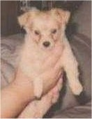 A tan Pomchi puppy is being held in the hands of a person.
