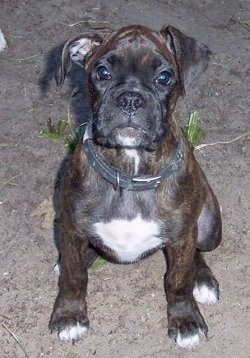 Close up front view - A thick, brindle with white Boxer puppy is sitting in dirt and it is looking forward.