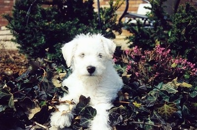 Front view - A fuzzy white Schnoodle puppy is laying in a flower bed and it is looking forward.