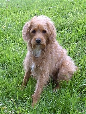 Front side view - A wavy coated, tan with white Schnoodle dog is sitting in grass and it is looking forward.