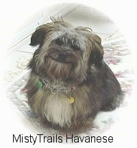 A black with tan and white Havanese is sitting on a rug, it is looking up, its head is slightly tilted to the right and it looks like it is smiling.