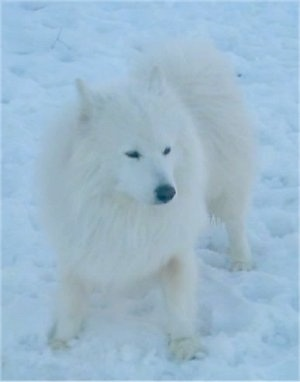 A fluffy white Samoyed dog is standing on snow and it is almost invisible as the dog and the snow are very white.