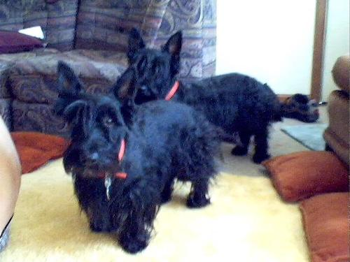 Two black Scottish Terriers are standing on a carpet in front of a couch looking forward. The dogs have longer hair on their faces, under belly and legs and shorter hair on their backs with large perk ears.