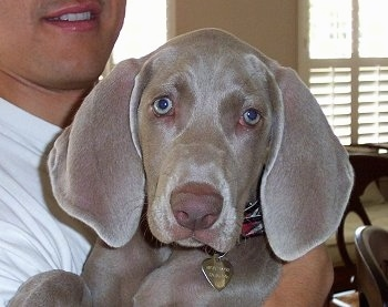 Close up - A Weimaraner puppy is being held in the arms of a person wearing a white shirt. The dog has very wide soft looking ears and a liver brown nose with silver blue eyes.