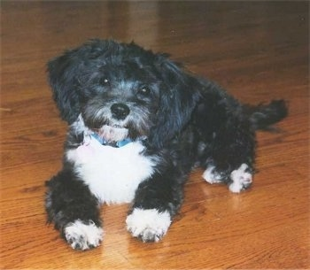 A soft looking, black with white Shih-Poo puppy is laying across a hardwood floor, its head is tilted to the right and it is looking forward.
