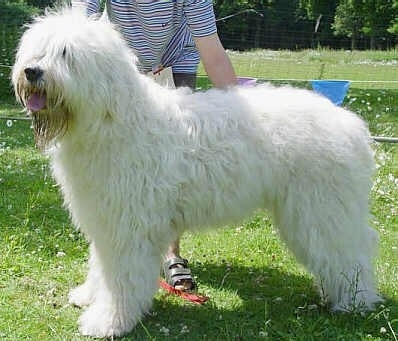 The left side of a tall, large breed, long coated, shaggy looking, white South Russian Ovtcharka that is standing in grass, its mouth is open, its tongue is out and it is looking to the left. There is a persons tanding behind it and touching its side.