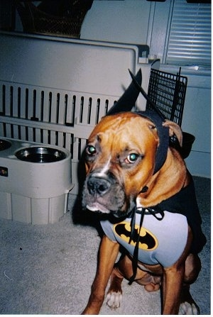 Tank the fawn and black Boxer is wearing a batman costume sitting next to a dog crate carrier.