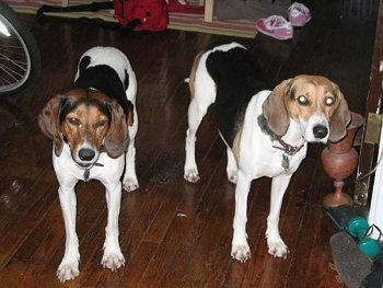 Two black and white with brown Treeing Walker Coonhounds are standing on a hardwood floor and they are looking forward. There is a bike next to them.