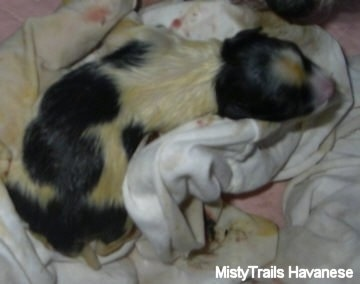 Topdown view of a white with black puppy that is covered in sac fluid and it is laying on a towel. It has yellow on its white fur.