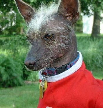 Close up - The left side of a hairless Xoloitzcuintli dog with scruffy white hair on its face and between its ears. It is wearing a red sweater with a white collar and it is sitting on a grass surface.