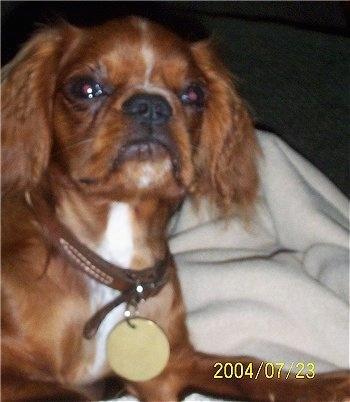 Close Up - Oliver the red and white English Toy Spaniel is wearing a brown leather collar laying on a blanket on top of a person